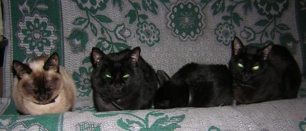Котята: 3 черных и 1 белый