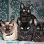 Котики: черные и серенький