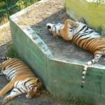 Спящие тигры.